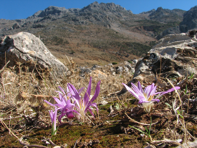 Merendera filifolia in the Rif mountains (Tetouan - Dar-Ben-Karriche-El-Bari -2- Zinat - Chefchaouen)