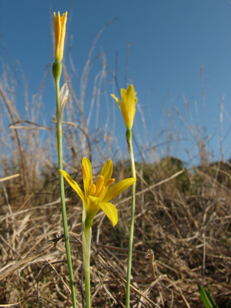 habitat of Narcissus humilis (Grottes d'Hercule - 13 - Cap Spartel - Cotta - 13 - Airport - El Bori - El Mazla - Larache)