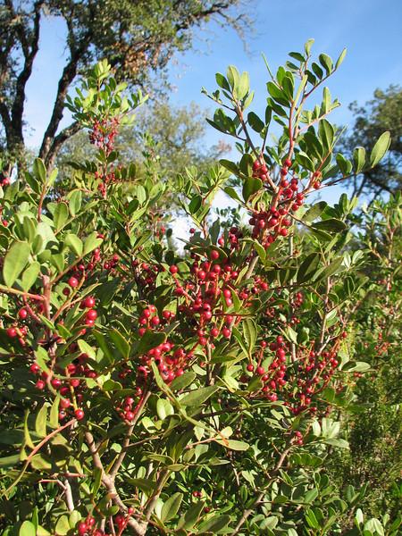 Berries of Pistachia lentiscus (Chefchaouen - Quazzane - Ain-Defali - Douyet - Fes)
