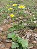 habitat of Ranunculus bullatus (Boufakrane - Meknes - Khemisset - Tiflet - Zemmour - Si-Allal-el-Bahraoui -8- Kenitra - Sale - Allal-Tazi - Souk-Telata-du-Rharb - Ksar-el-Kebir - Larache)