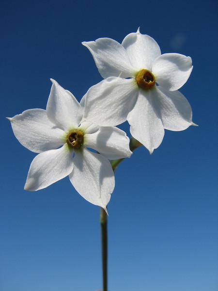 Narcissus elegans (variation in flower shape) (Grottes d'Hercule - 16 - Tanger Airport (Boukhalef Souahel)