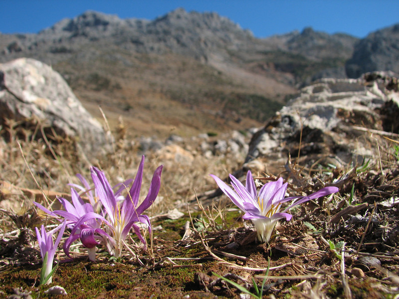 Merendera filifolia
