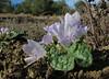 Mandragora autumnalis (Chefchaouen -6- Quazzane - Ain-Defali - Douyet - Fes)