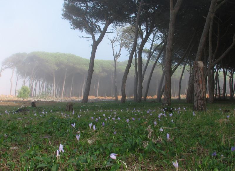 Crocus serotinus ssp. salzmannii (Boufakrane - Meknes - Khemisset - Tiflet - Zemmour - Si-Allal-el-Bahraoui - Kenitra - Sale - Allal-Tazi - Souk-Telata-du-Rharb - Ksar-el-Kebir -11- Larache)