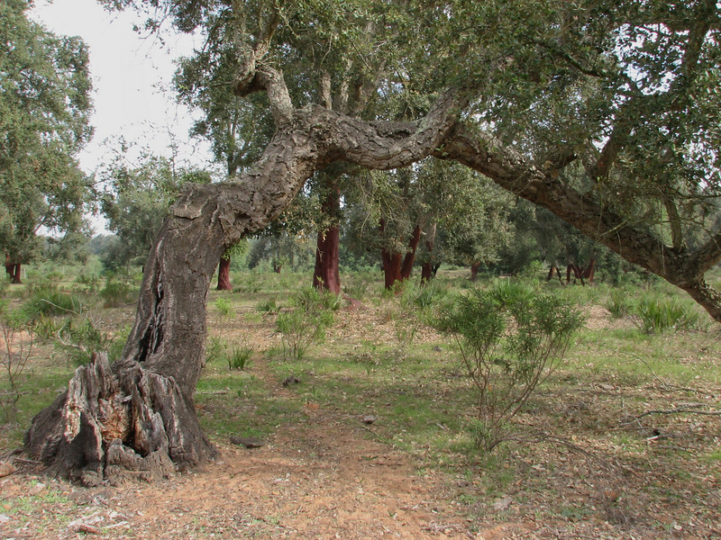 Quercus suber (Boufakrane - Meknes - Khemisset - Tiflet - Zemmour - Si-Allal-el-Bahraoui -8- Kenitra - Sale - Allal-Tazi - Souk-Telata-du-Rharb - Ksar-el-Kebir - Larache