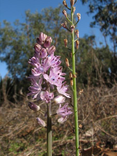Scilla autumnalis ssp. fallax