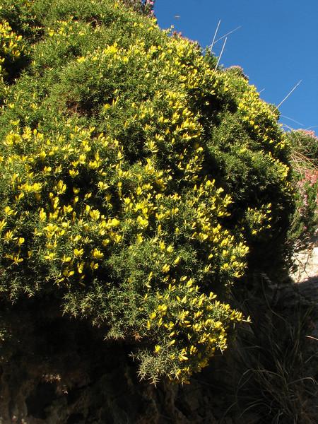 Ulex europaeus, (Tanger-Seba-Tetouan)