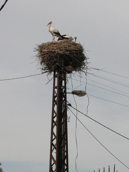 Ciconia ciconia (NL: Ooievaar)