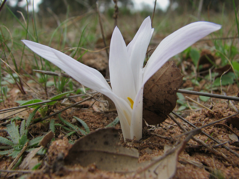 "Merendera filifolia forma ""Alba"" (Boufakrane - Meknes - Khemisset - Tiflet - Zemmour - Si-Allal-el-Bahraoui -8- Kenitra - Sale - Allal-Tazi - Souk-Telata-du-Rharb - Ksar-el-Kebir - Larache"