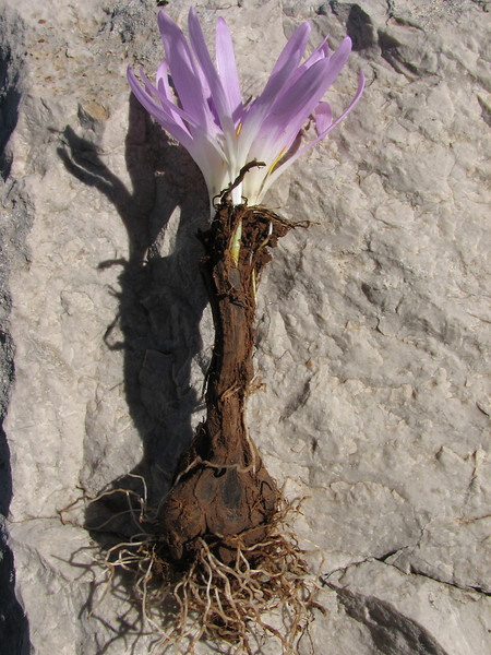 bulb of Merendera filifolia, (for identification purposes only) (Tetouan - Dar-Ben-Karriche-El-Bari -2- Zinat - Chefchaouen)