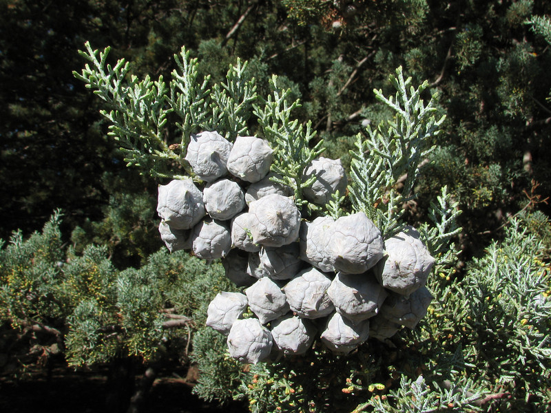 tree of Cupressus atlantica (Fes - Imouzzer-Kandar - Ifrane - Azrou - Ain-Leuh - El-Hajeb - Boufakrane)