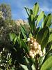 Quercus suber (NL:kurkeik) and Arbutus unedo (NL:aardbeiboom)(Chefchaouen - Talembote - Et-Tlera-de-Qued-Lau - Bou-Ahmed -4- Bab-berret - Bab-Taza - Chefchaouen)