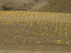 cultivated fields with yellow melons (Grottes d'Hercule - Cap Spartel - Cotta - Airport - El Bori - El Mazla - Larache)