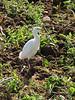 Bubulcus ibis, Cattle Egret (NL:koereiger)