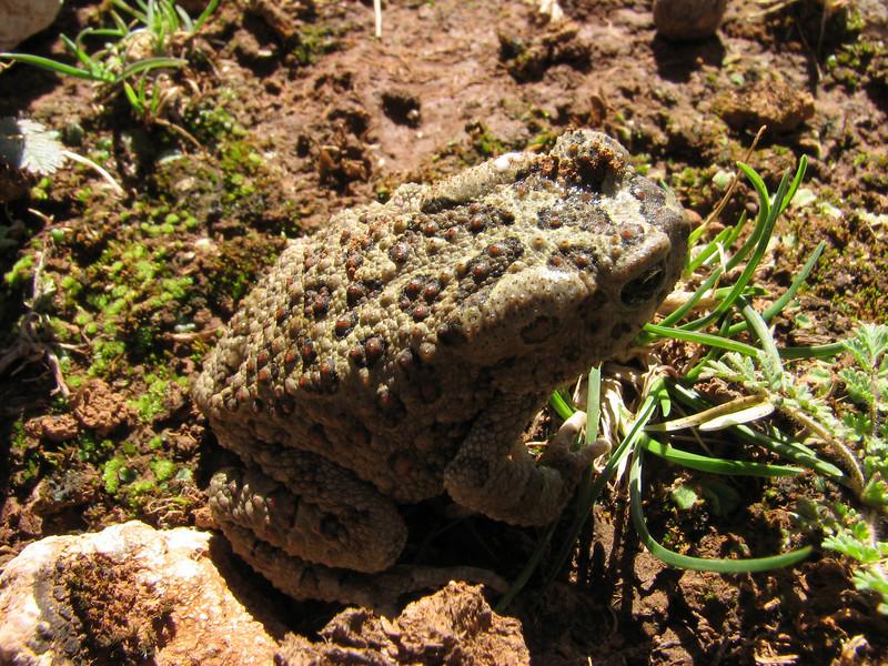 Bufo mauritanicus (Mauritanian Toad) (Tetouan - Dar-Ben-Karriche-El-Bari - Zinat -3- Chefchaouen)