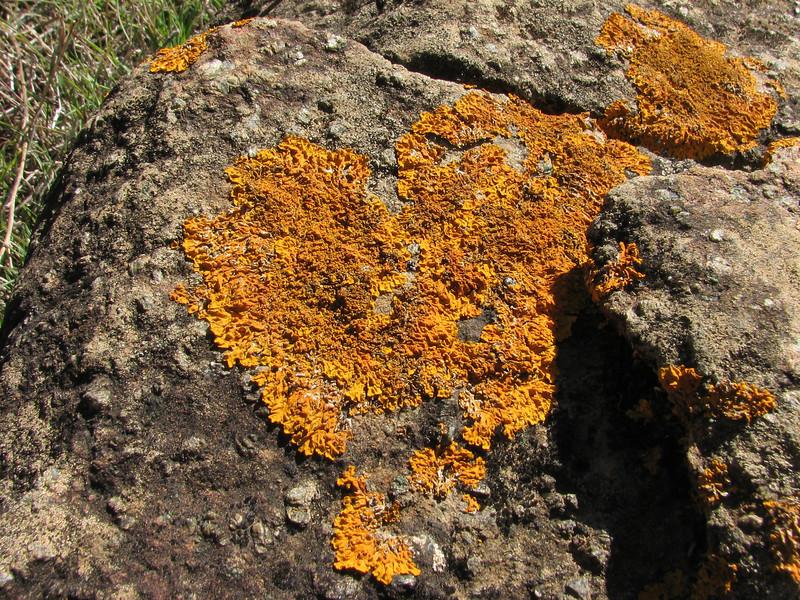 Xanthoria alegans, lichen (Chefchaouen - Talembote - Et-Tlera-de-Qued-Lau - Bou-Ahmed -4- Bab-berret - Bab-Taza - Chefchaouen)