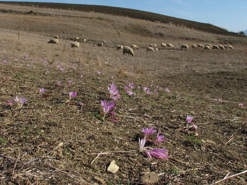 sheep don't like Colchicum lusitanicum (Larache - Cap Spartel - Grottes d'Hercule)