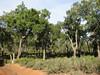 Quercus suber (NL:kurkeik) forest (Chefchaouen - Quazzane - Ain-Defali - Douyet - Fes)