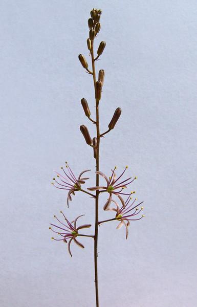 Drimia undata, (Goldblat) formerly Urginea undulata