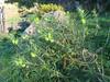 habitat of Gomphocarpus fruticosus (Tanger-Seba-Tetouan)