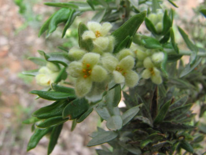 Thymelaea tartonaira