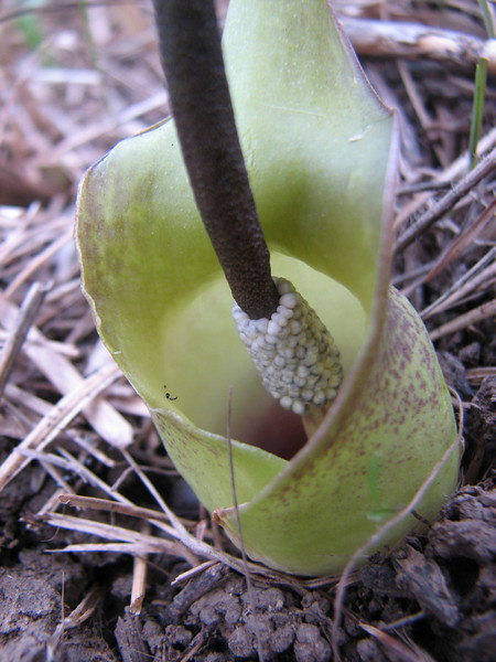 Biarum bovei ssp. dispar