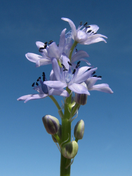 Hyacinthoides lingulata (syn. Scilla lingulata) (Larache - 14 - Cap Spartel - Grottes d'Hercule)