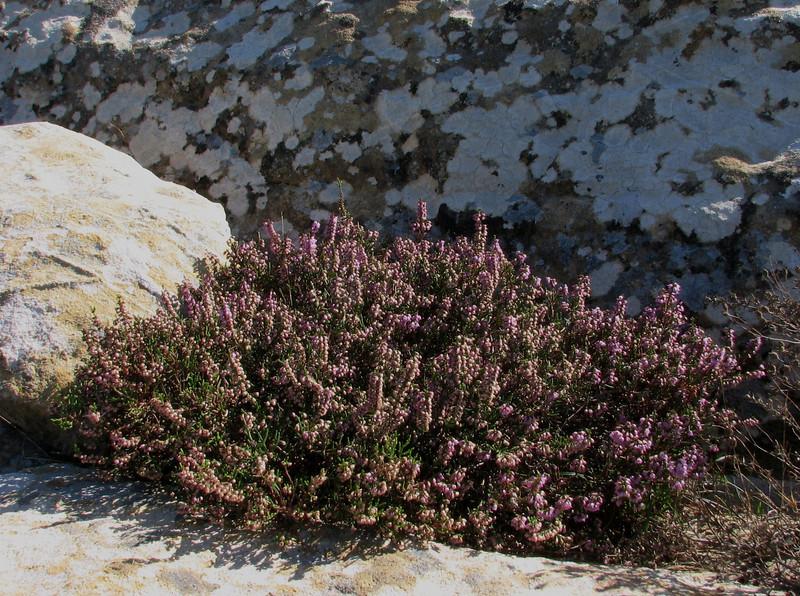 Calluna vulgaris near Cap Spartel