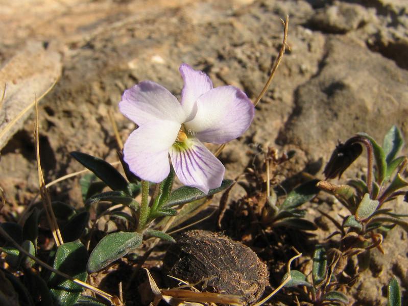 Viola arborescens (Chefchaouen - Talembote - Et-Tlera-de-Qued-Lau - Bou-Ahmed -4- Bab-berret - Bab-Taza - Chefchaouen)