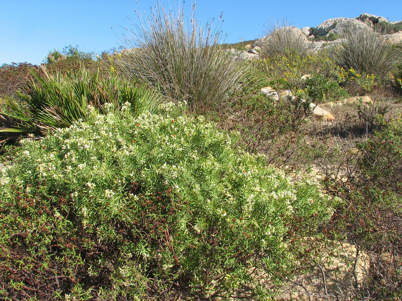 habitat of Daphne gnidium (Tanger-Seba-Tetouan, N.Morocco)