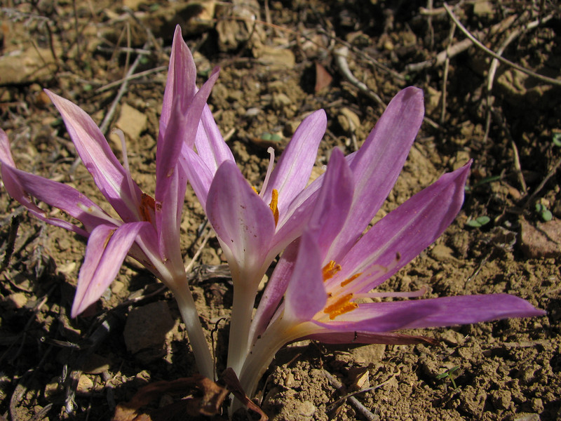 Colchicum lusitanicum growing in culture ground (Chefchaouen -6- Quazzane - Ain-Defali - Douyet - Fes)