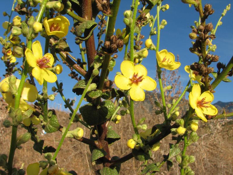 habitat of Verbascum masguindali (Tetouan - Dar-Ben-Karriche-El-Bari - Zinat - Chefchaouen)
