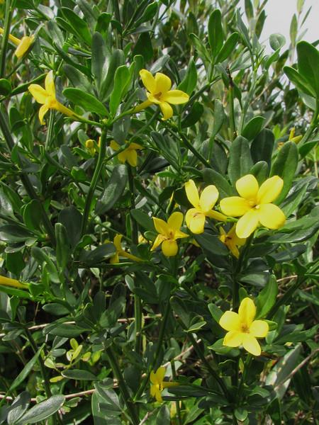 shrubs of Jasminum fruticans (Boufakrane - Meknes - Khemisset - Tiflet - Zemmour - Si-Allal-el-Bahraoui -9- Kenitra - Sale - Allal-Tazi - Souk-Telata-du-Rharb - Ksar-el-Kebir - Larache)