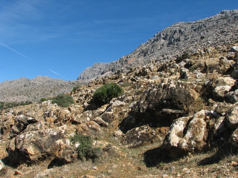 Chamaerops humilis, Rif mountains 800m Limestone (Tetouan - Dar-Ben-Karriche-El-Bari - Zinat -3- Chefchaouen)