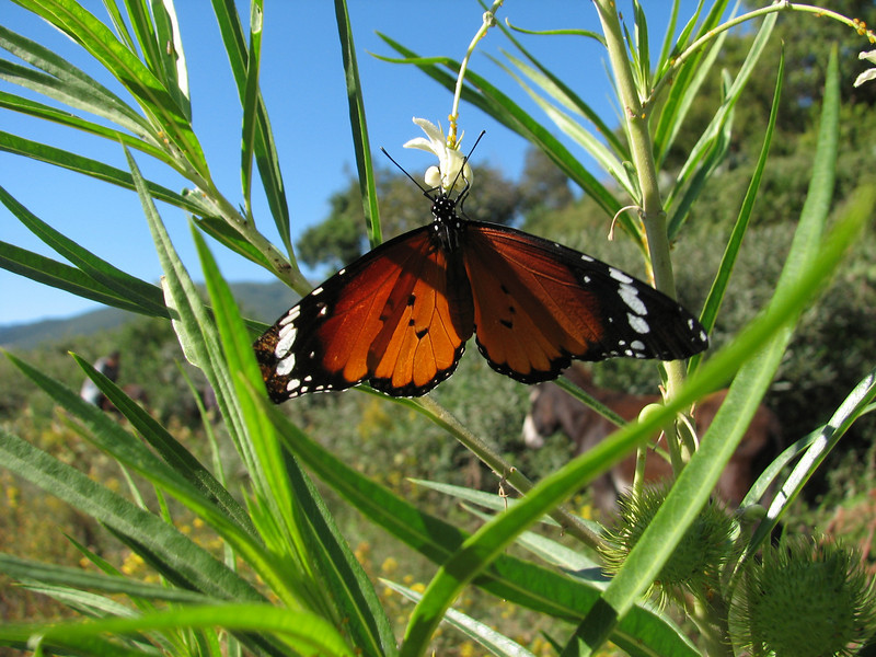 Danaus chrysippus (NL: kleine monarch)(Plain Tiger) on Gomphocarpus fruticosus
