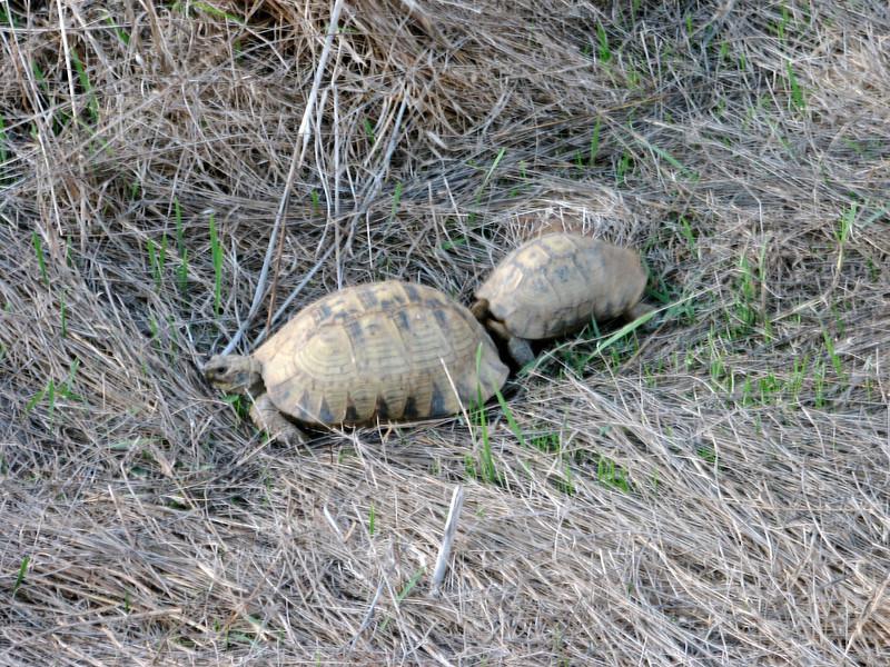 Testudo graeca, Spur-thighed Tortoise,(NL: Moorse landschildpad) prepairing to mate
