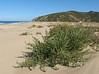 Salsola kali (NL:loogkruid) (Tanger-Seba-Tetouan, N.Morocco)