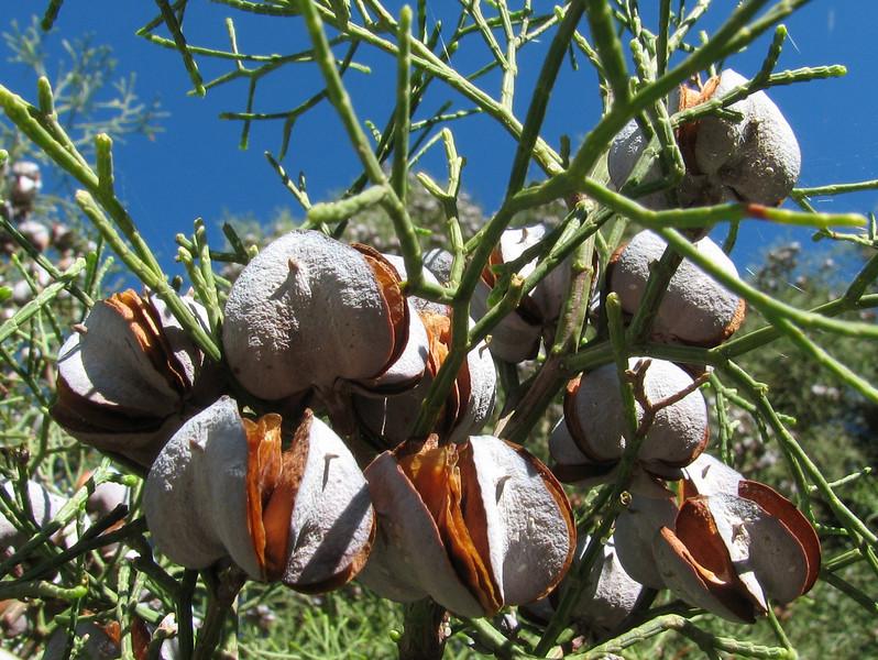 Thuja articulata, (syn.Tetraclinis articulata) (Chefchaouen - Talembote - Et-Tlera-de-Qued-Lau - Bou-Ahmed -4- Bab-berret - Bab-Taza - Chefchaouen)
