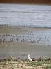 Bubulcus ibis, Cattle Egret (NL:koereiger) (Tetouan - Dar-Ben-Karriche-El-Bari - Zinat - Chefchaouen)