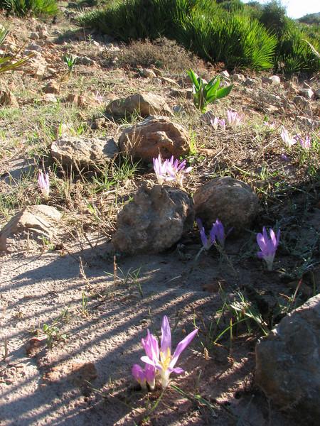 habitat (sandstone) of the Colchicaceae, Merendera filifolia (Chefchaouen - Talembote - Et-Tlera-de-Qued-Lau - Bou-Ahmed -4- Bab-berret - Bab-Taza - Chefchaouen)