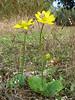 Ranunculus bullatus (Larache -12- Asilah - Grottes d'Hercule)