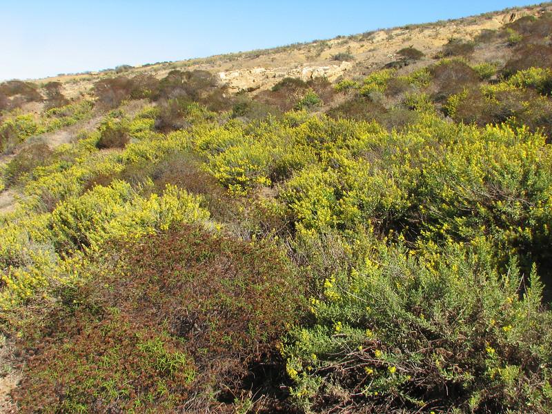 habitat of Dittrichia viscosa (NL:kleverige alant) (Asteraceae) (Tanger-Seba-Tetouan, N.Morocco)