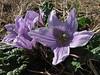 Mandragora autumnalis (Larache - 14 - Cap Spartel - Grottes d'Hercule)