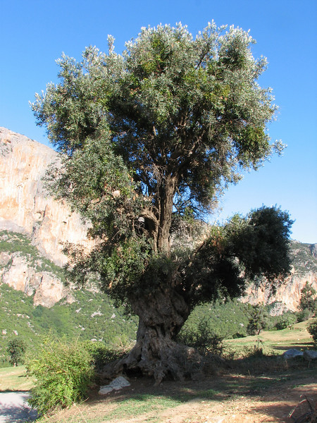 Viscum cruciatum, growing in a big Oleo spec. (Tetouan - Dar-Ben-Karriche-El-Bari - Zinat - Chefchaouen