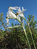 Narcissus elegans