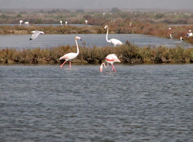 salt lakes with Phoenicopterus ruber (NL:roze flamingo) (Larache -12- Asilah - Grottes d'Hercule