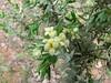 Thymelaea tartonaira (Thymelaeaceae) (Boufakrane - Meknes - Khemisset - Tiflet - Zemmour - Si-Allal-el-Bahraoui -8- Kenitra - Sale - Allal-Tazi - Souk-Telata-du-Rharb - Ksar-el-Kebir - Larache)
