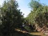 humid habitat of Nerium oleander (Larache - Cap Spartel - Grottes d'Hercule)