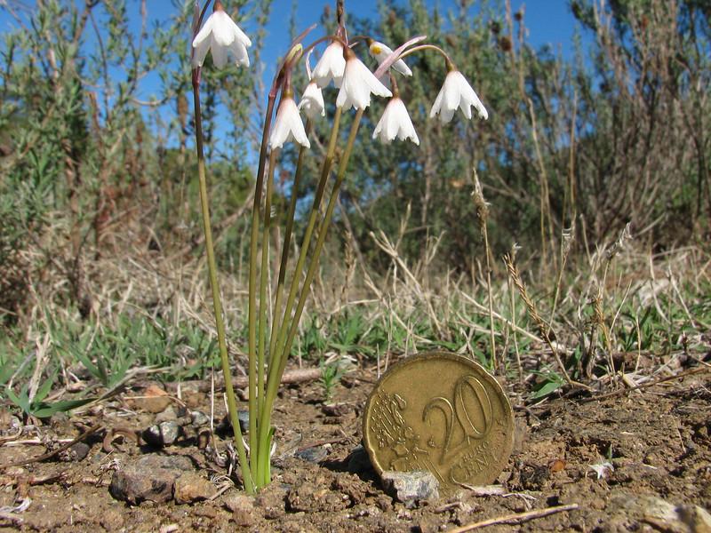 Acis autumnale var. oporantha, (syn. Leucojum autumnale) (Chefchaouen - Talembote - Et-Tlera-de-Qued-Lau - Bou-Ahmed -4- Bab-berret - Bab-Taza - Chefchaouen)