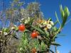 Daphne gnidium (Tetouan -1- Dar-Ben-Karriche-El-Bari - Zinat - Chefchaouen)